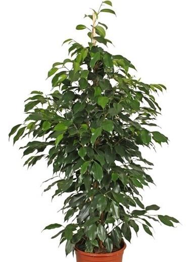 Çiçek Antalya Çiçek Antalya Dolgun Ve 1. Kalite Ficus Benjamin 110130 Cm Yeşil